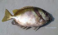 Barhead spinefoot, Two Barred   Rabbitfish