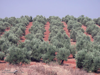 Mis queridos olivos