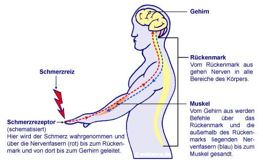 Schmerztherapie Hamburg: Schmerzleitungen im menschlichen Körper