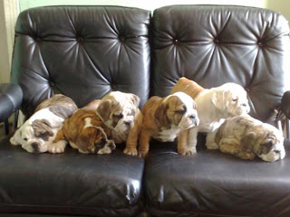 Bulldog Cachorros, parte 6