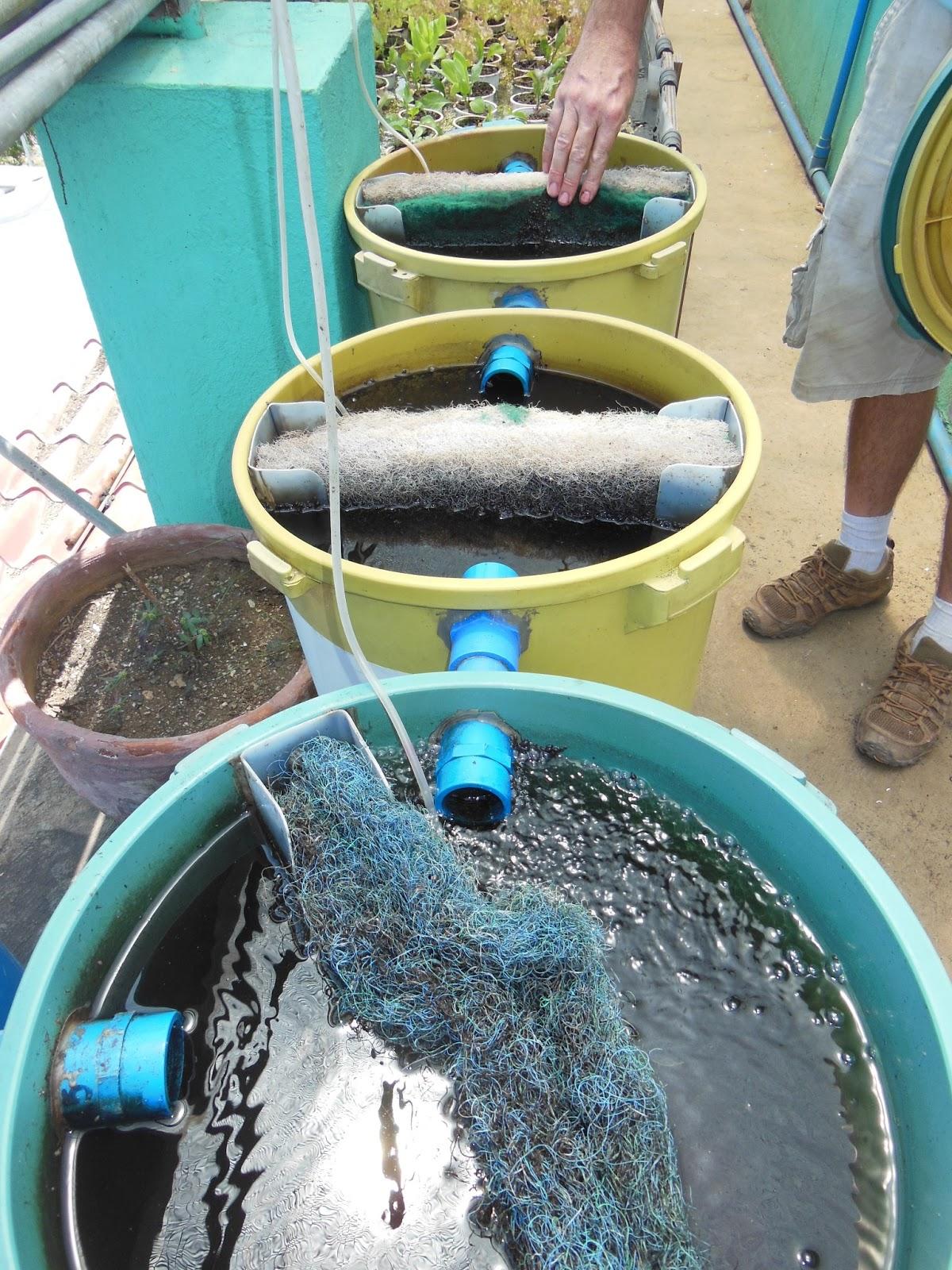 Waiting on the rainy season an echo asia blog lessons for Catfish aquaponics