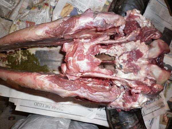 Huesos en el ático: Ejercicio práctico: disección cabeza de búfalo.