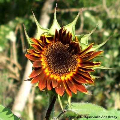 the first Autumn Beauty Sunflower Blossom