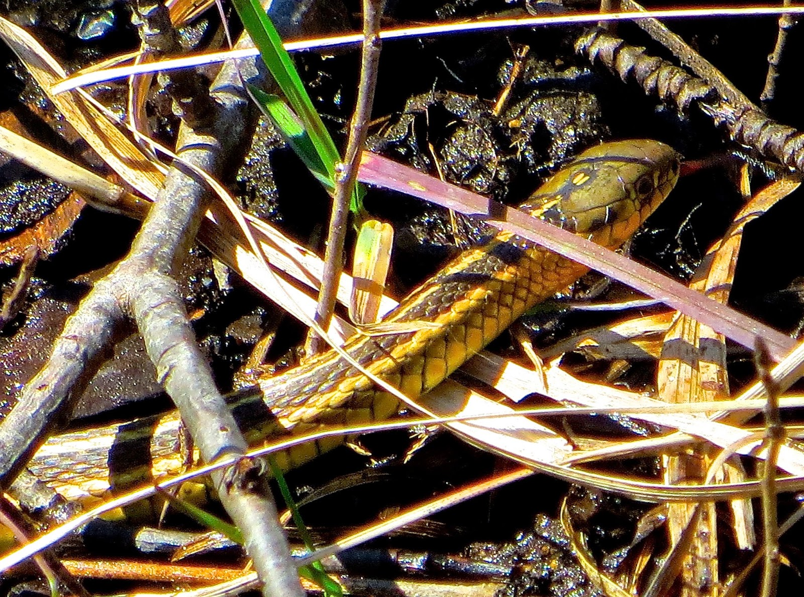 emily dickinson's the snake Snake emily dickinson album third series snake lyrics a narrow fellow in the grass occasionally rides--you may have met him--did you not his notice sudden is--the grass divides as with a.
