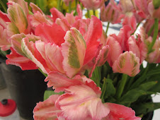 The last of Dutchmill's Friday tulips!