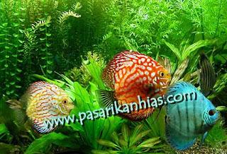Jual Ikan Hias Discus Harga Murah