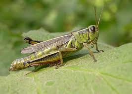 belalang,tempur,#blogger,#weschairs,#blog,belalang hijau