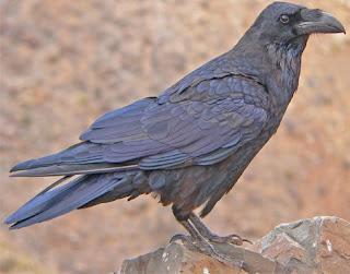 Cuervo de perfil