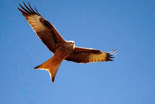 Red kite (bird of prey)