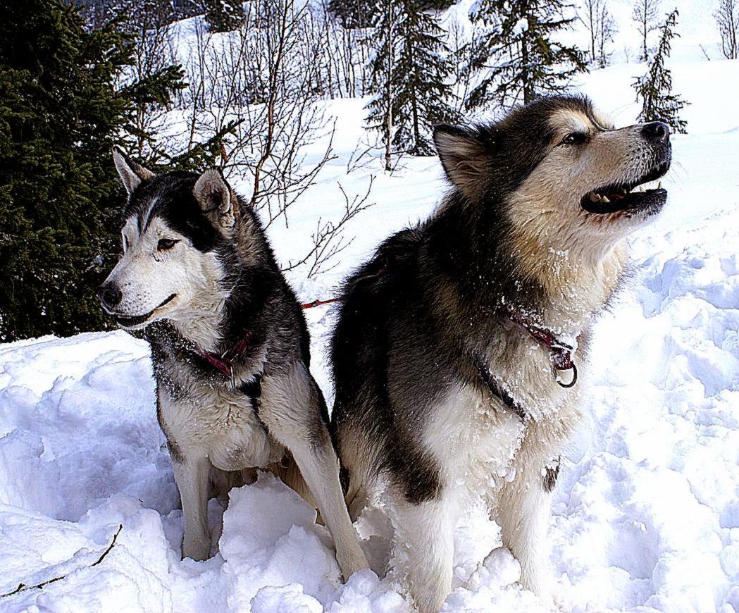 Animal Photo Alaskan Malamute Pet Dogs