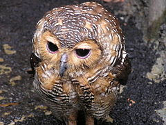 Foto Spotted Wood Owl