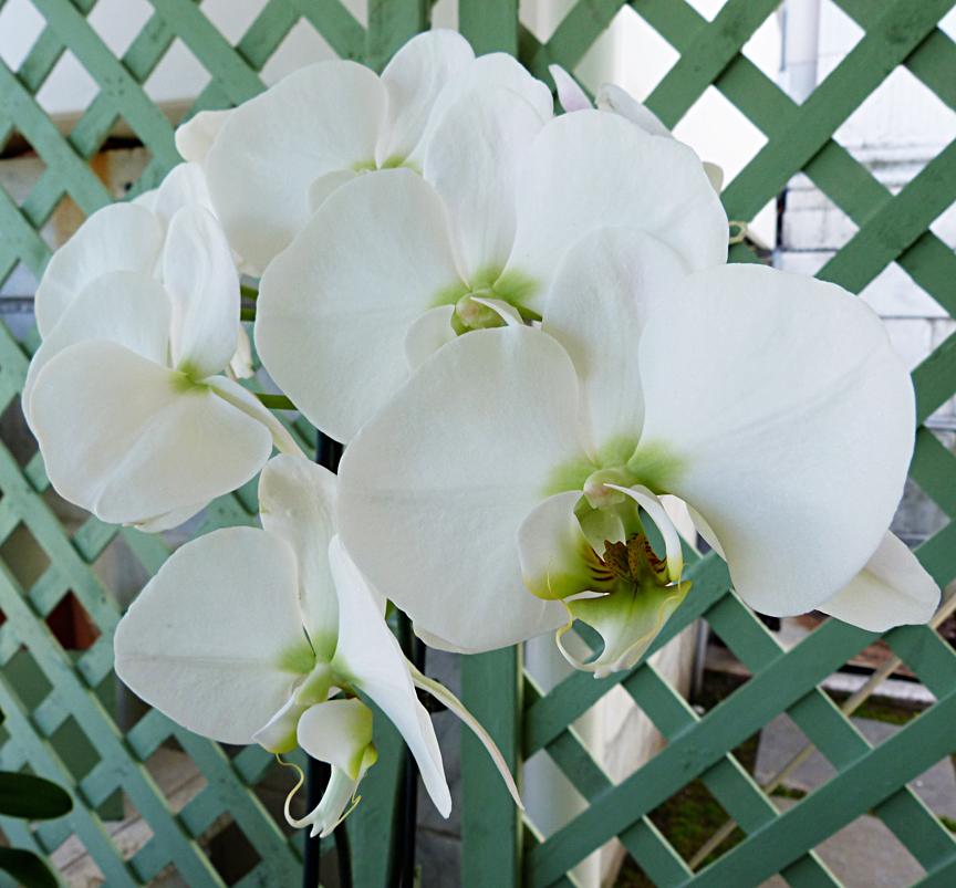 Phalaenopsis orchid 'Allegra'