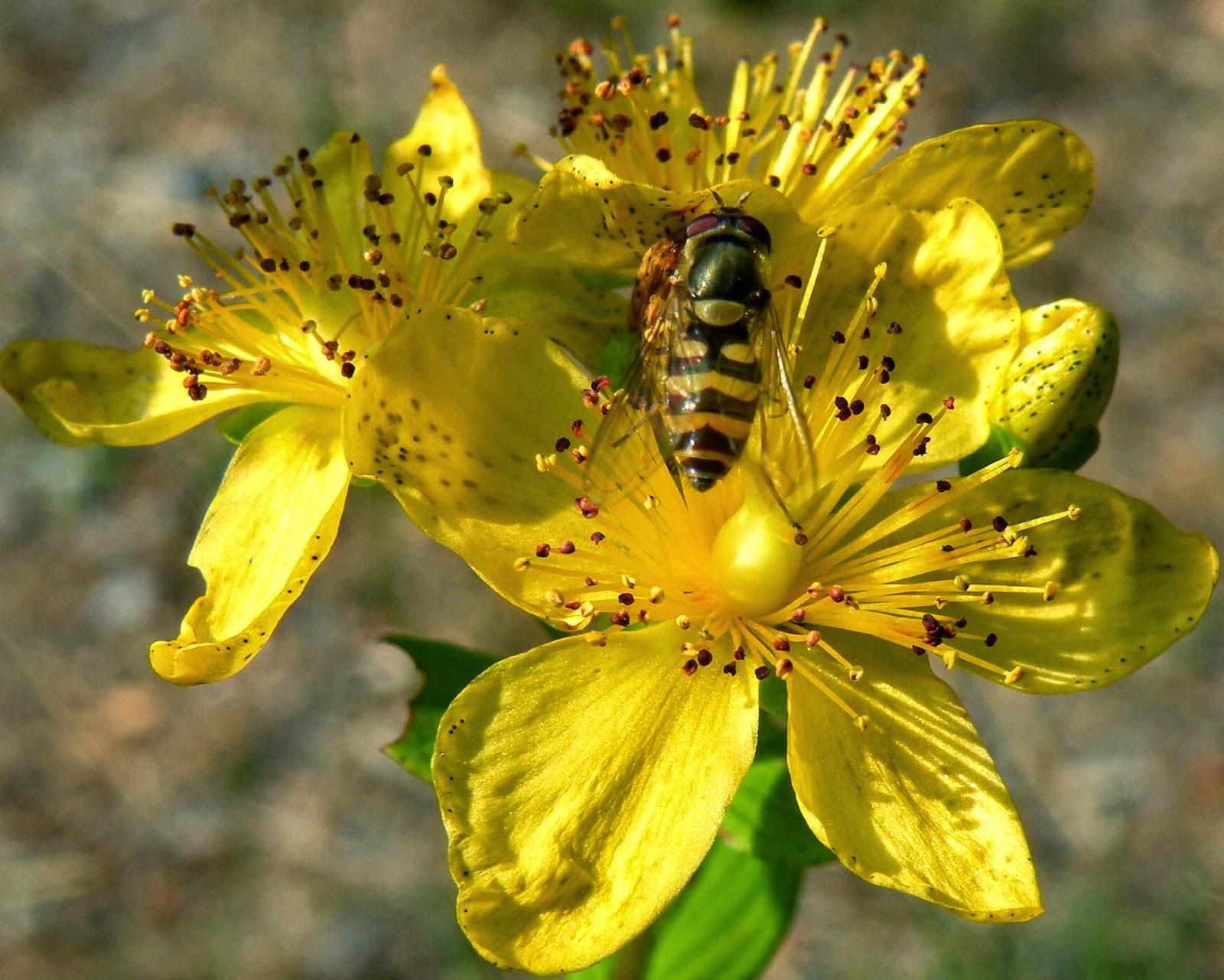 Βαλσαμόχορτο ή Σπαθόχορτο (Hypericum perforatum)