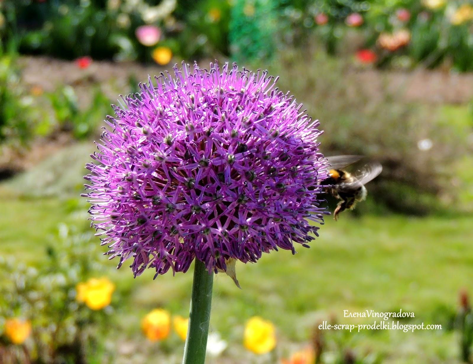 ЕленаVinogradova. Пчелка и декоративный лук.
