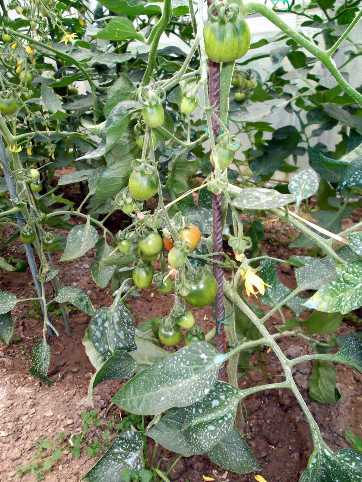 Passion tomates premi res tomates for Bouillie bordelaise piscine