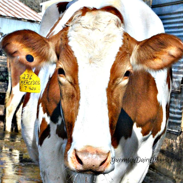 dairy farming; cows, farmer