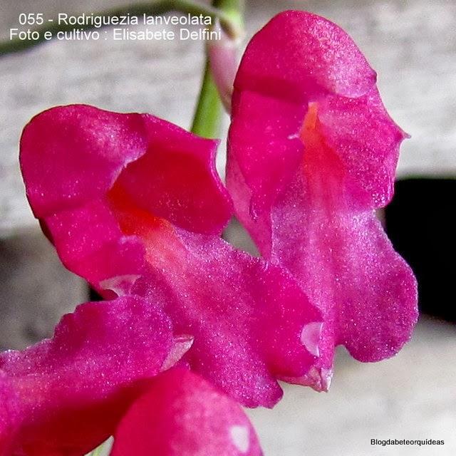 Rodriguezia secunda, Pleurothallis coccinea, Burlingtonia rosea.