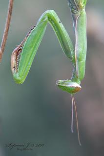 Imádkozó sáska (Mantis religiosa)