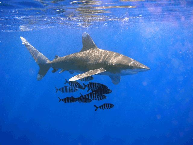 سمكة قرش تسبح في البحر