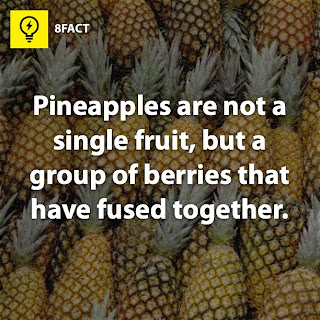 apple facts : Pineapples are not a single fruit,but a group of berries that have fused together.