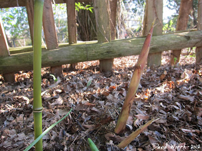 new bamboo shoots growing by the fence, invasive,