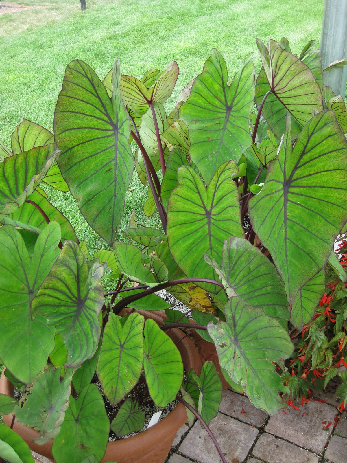 colocasia esculenta 5 live colocasia esculenta elephant ear taro gabi kalo eddo bulbs ready to grow 40 out of 5 stars - 5 live colocasia esculenta elephant ear taro gabi kalo eddo bulbs ready to grow 10 product ratings [object object].