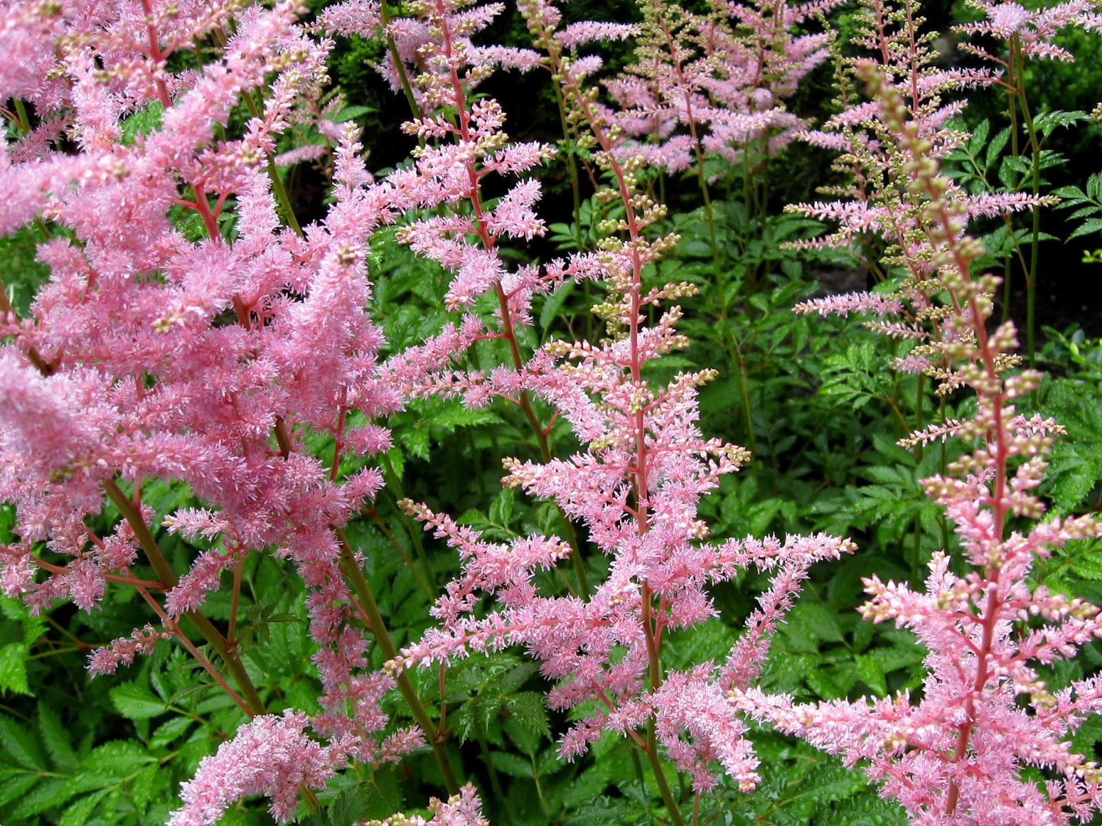 Image Astilbe_bunch.jpg free for use with attribution