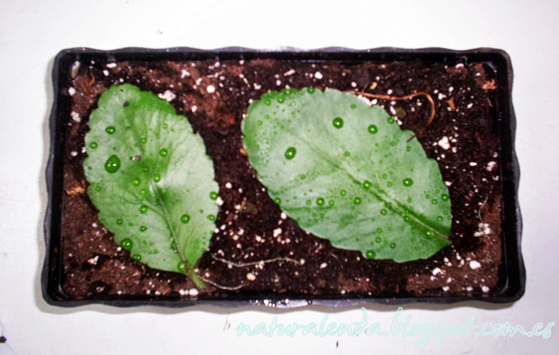 hojas de kalanchoe sobre recipiente