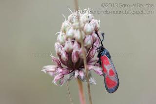 Petit papillon rouge et noir: zygène