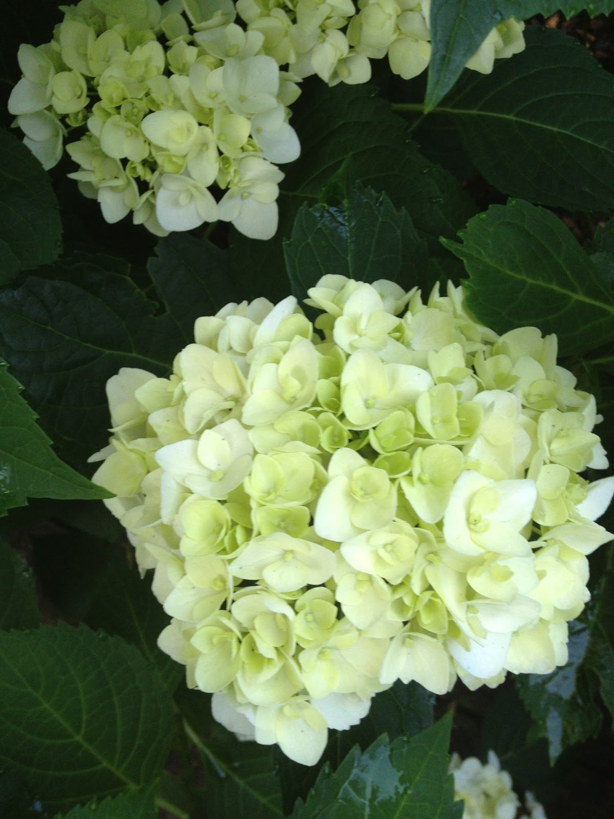 Halcyon days hydrangeas for the house as the blooms age they take on a pale blue tint the name of the one above i can never remember but i have four of them they are mostly purple izmirmasajfo