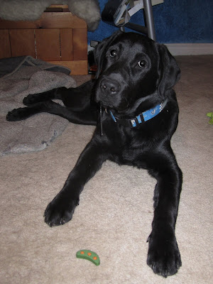5 month old black lab puppy Romero is is a down position in my bedroom with my messy desk in the background. He is resting on his left hip, with his back legs resting on a gray blanket to the right. On the carpet between his two front paws is a green dog treat (shaped like 3 peas in a pod). Romero has been asked to LEAVE IT, and is doing very well, looking into the camera instead of at the cookie. However, he does have a big string of drool hanging from one side of his mouth.