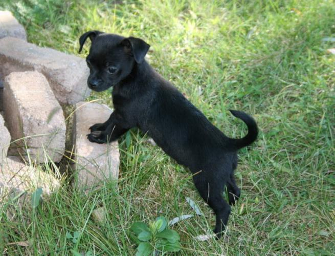 Cute Puppy Dogs: black chihuahua puppies