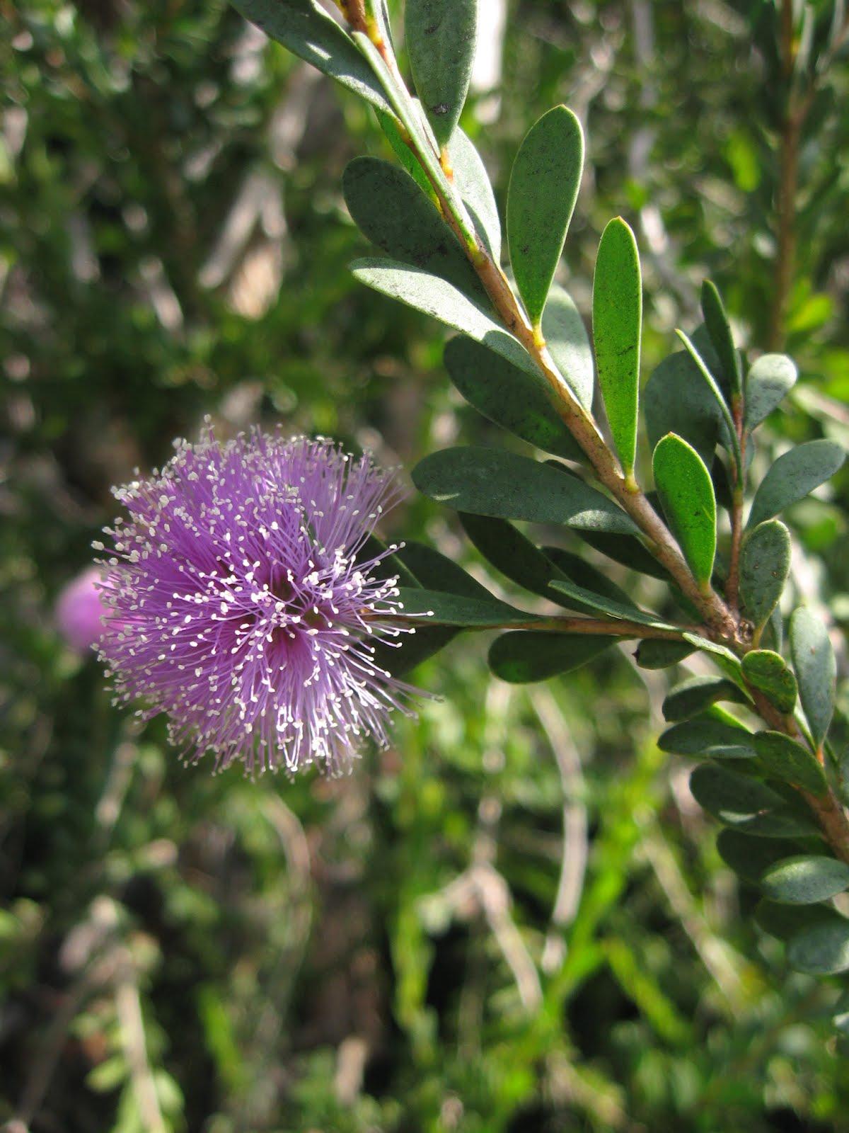 Sb Melaleuca Nesophila