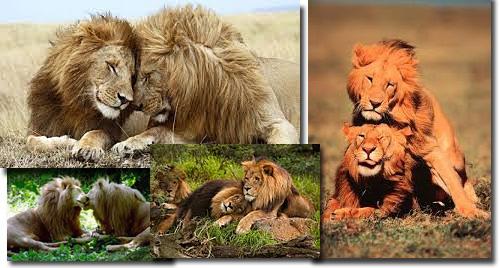 Leões - homossexualidade animal.jpg