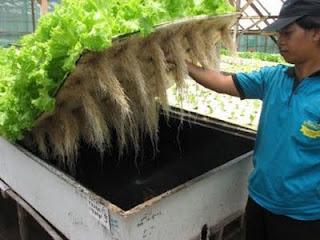 aerophonik, teknik budidaya tanaman tanpa media tanam, sayuran bebas pestisida
