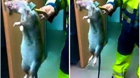 Tikus Raksasa Ditemukan Seorang Pria Di Inggris