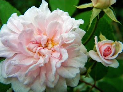 Pink Roses DeWitt Clinton Park Clip Art