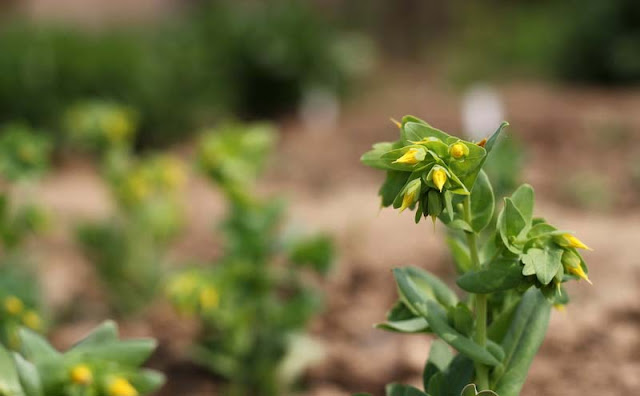 Cerinthe Minor Flowers Pictures