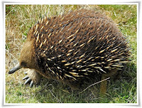 Echidna Animal Pictures