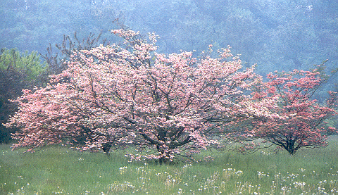 beautiful pink blooming tree spread wide