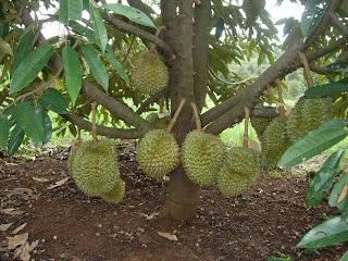 Budidaya Durian Montong