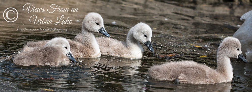 4 Cygnets - Lodge Lake, Milton Keynes