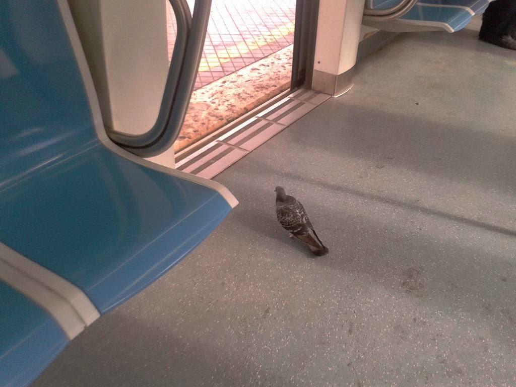 Interni di Roma-Lido: il piccione