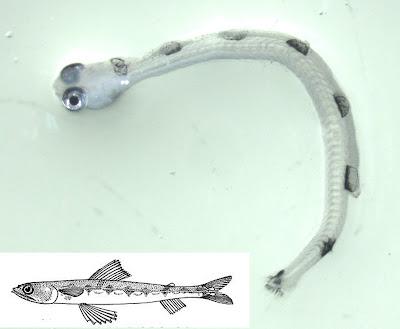 Lizardfish larvae