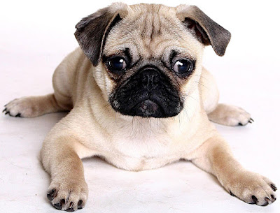 Perro Pug y Bulldog Francés