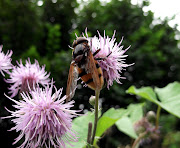 Hornet hoverfly feasting on a thistle flower