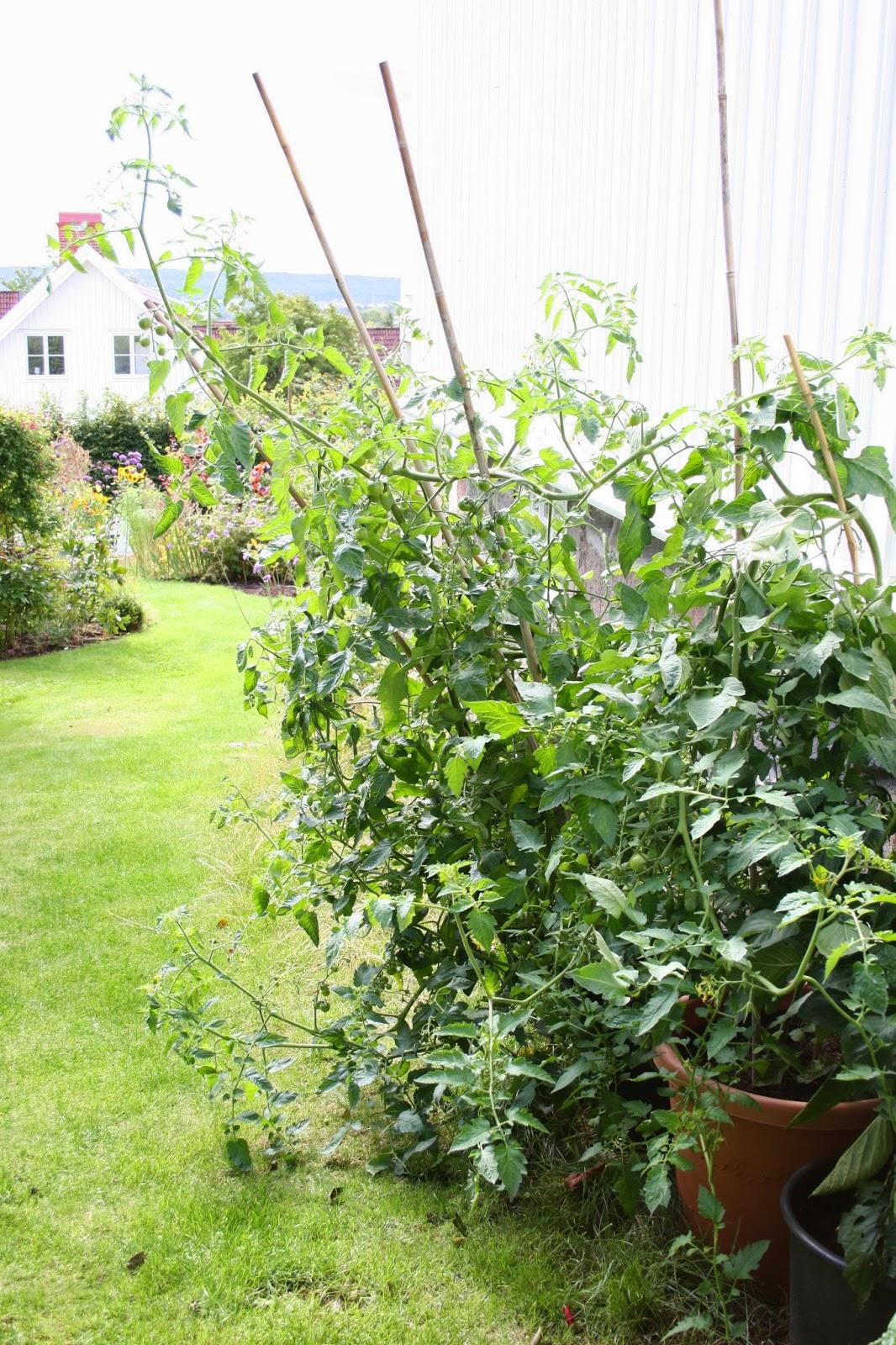 odla tomater i kruka