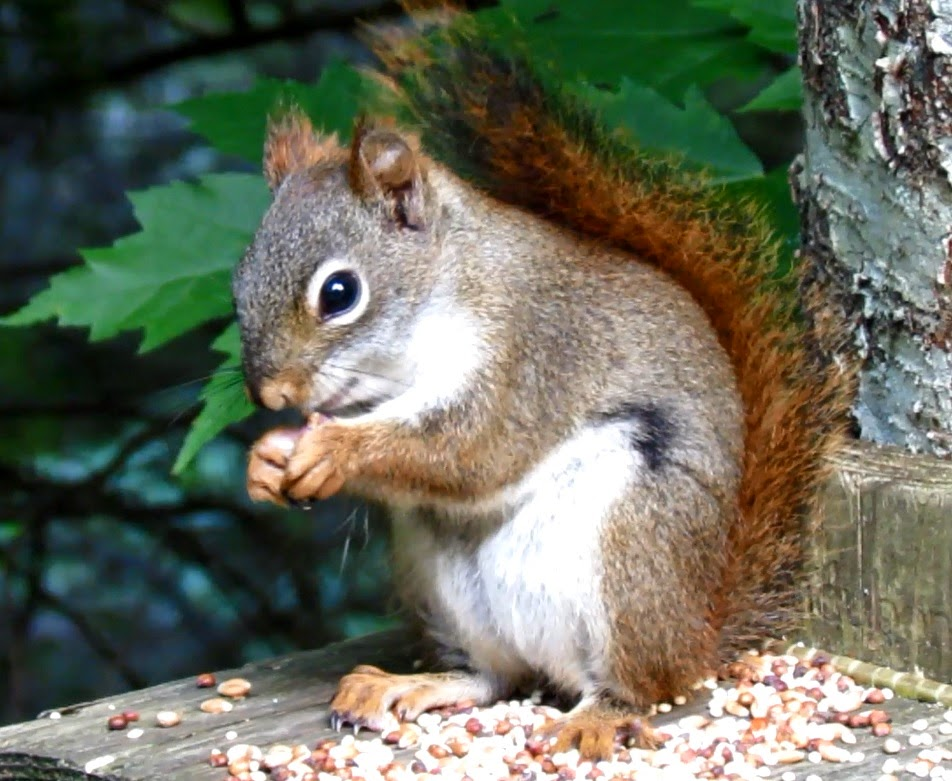 Squirrel With Hiccups