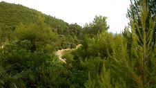 Forêts de pins sur Skiathos