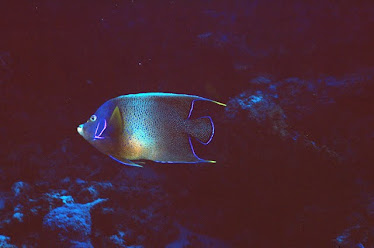 Semi-circular Angelfish